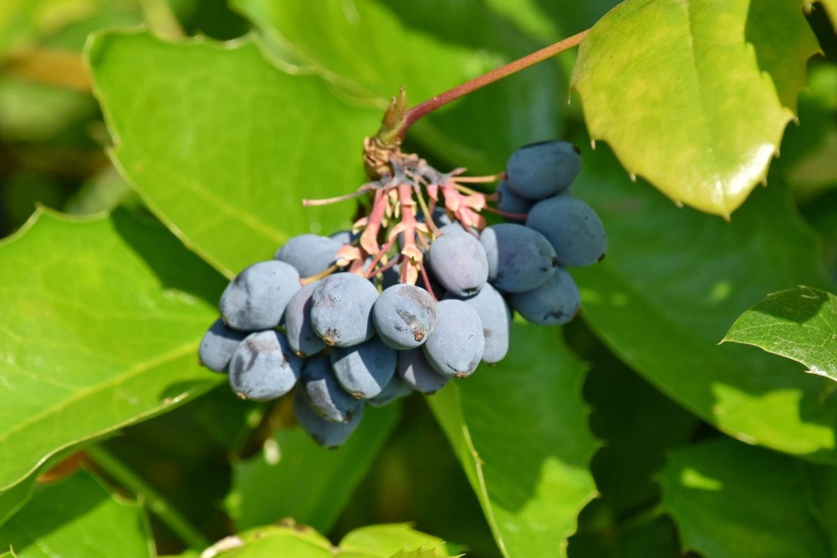 shrub, leaf, wine, fruit, nature, flora, outdoors, summer, agriculture, fair weather
