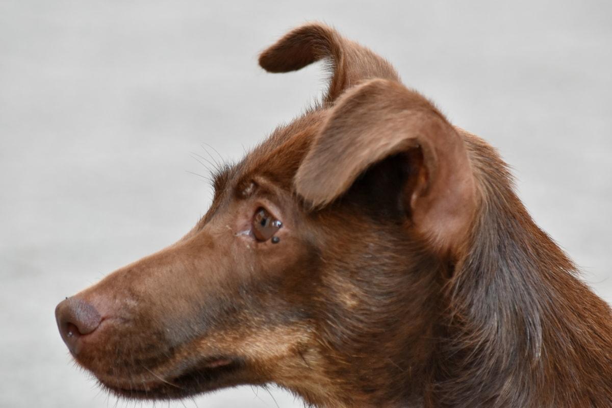 lovački pas, pas, slatka, pas, životinja, gonič, portret, oko, smiješno, priroda