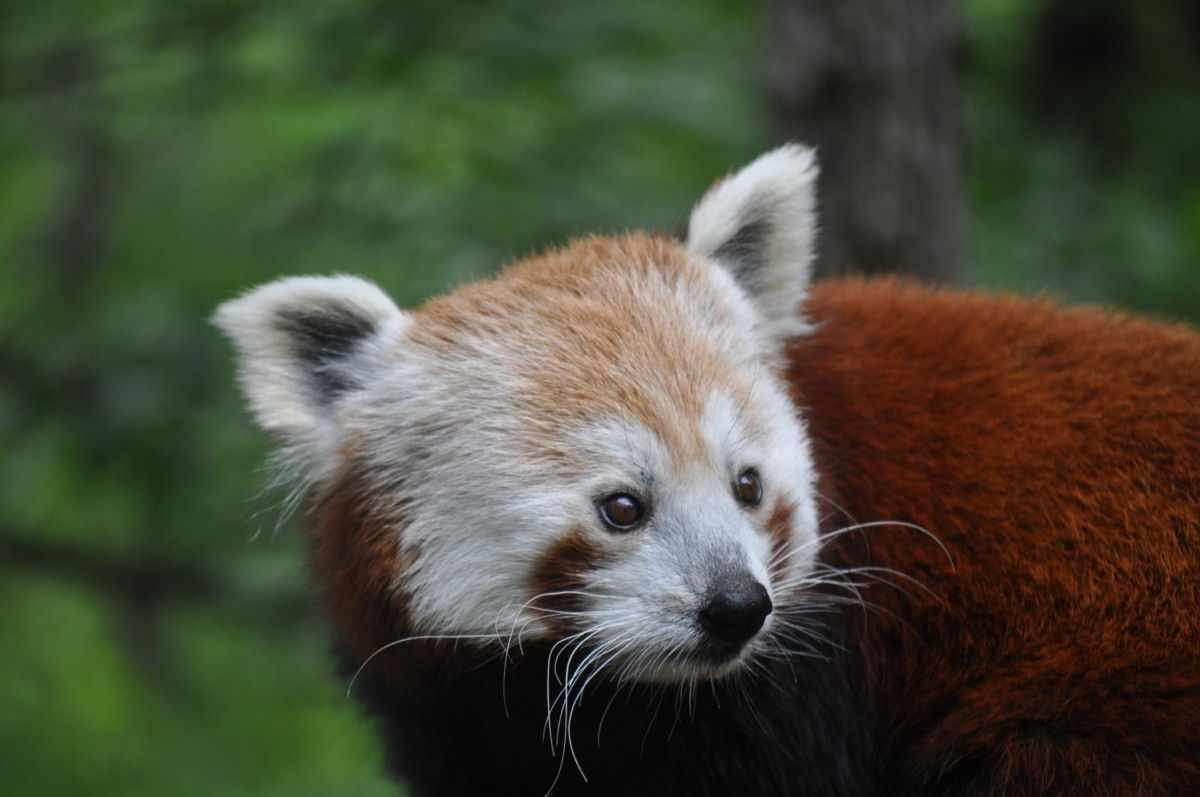 Bär, gefährdete Arten, Kopf, natürlichen Lebensraum, Panda, rot, niedlich, Pelz, Tierwelt, Natur