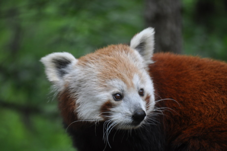 bear, endangered species, head, natural habitat, panda, red, cute, fur, wildlife, nature