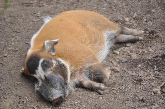 hog, piglet, pigs, wild boar, swine, wildlife, nature, animal, fur, livestock