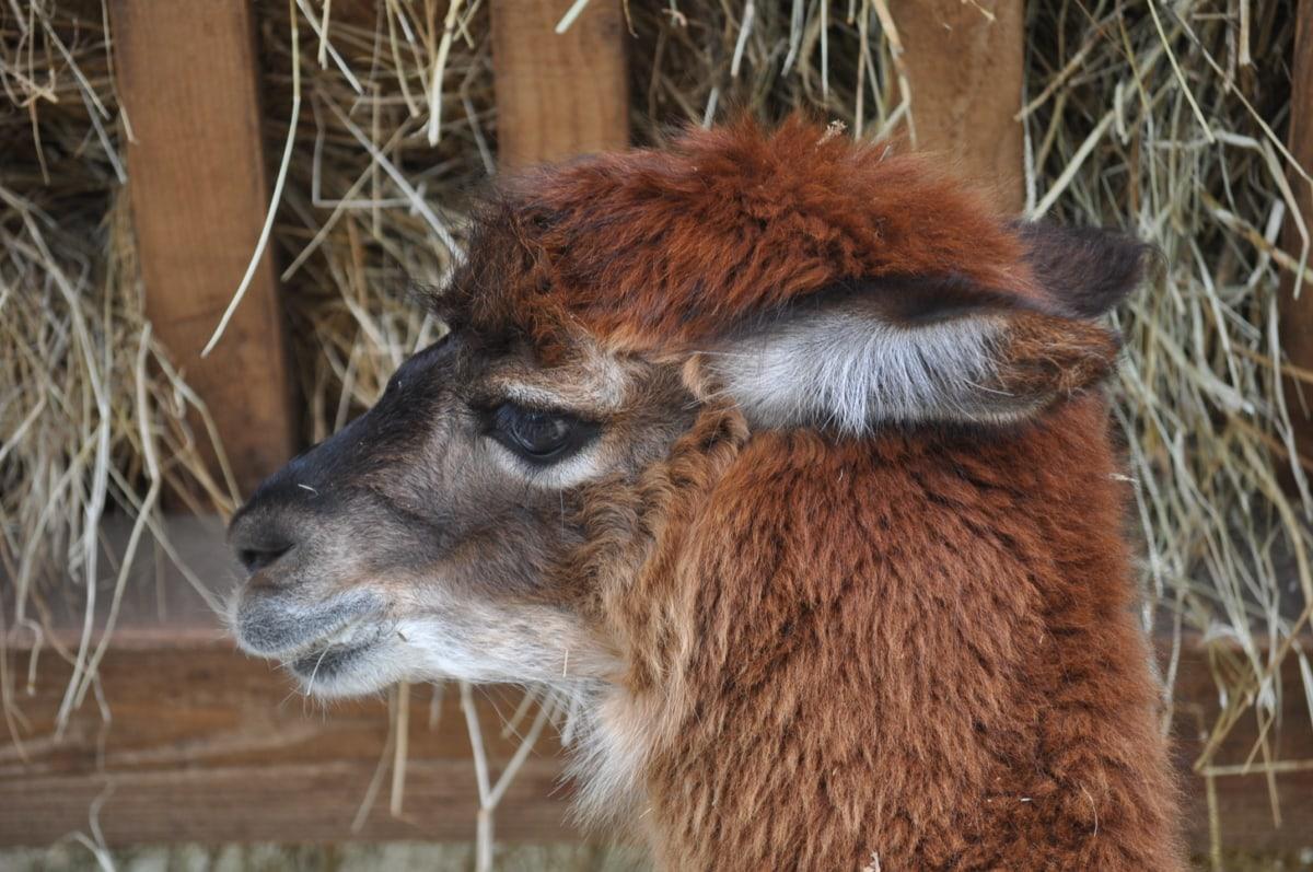Alpaca, marrón, cabeza, vertical, vista lateral, flora y fauna, naturaleza, animal, Piel, salvaje