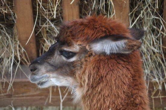 alpaca, brown, head, portrait, side view, wildlife, nature, animal, fur, wild