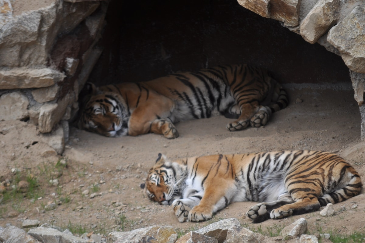 Bengal, špilja, grabežljivac, tigar, mačka, mačji, pruga, mesojed, biljni i životinjski svijet, divlje