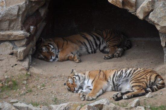 Bengalen, Höhle, Predator, Tiger, katze, katzenartig, Streifen, Fleischfresser, Tierwelt, wild