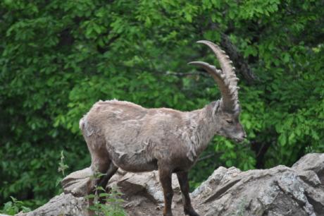 動物, 絶滅危惧種, ヤギ, 長い角, 山のピーク, 野生動物, 自然, 野生, アウトドア, 毛皮