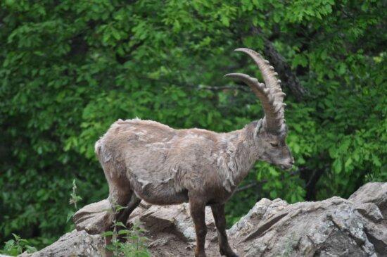 životinja, ugrožene vrste, koza, dugi rogovi, planinski vrh, biljni i životinjski svijet, priroda, divlje, na otvorenom, krzno