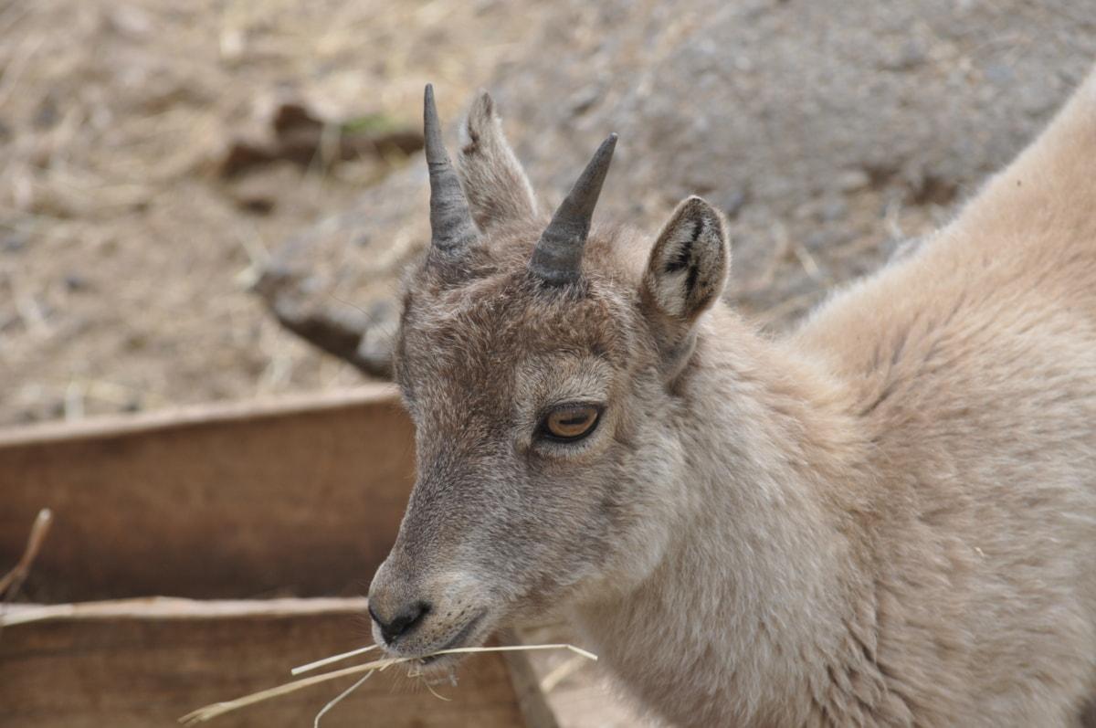 animal, cabra, chifre, retrato, Perfil, jardim zoológico, Zoologia, Peles, selvagem, vida selvagem