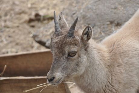 animal, goat, horn, portrait, profile, zoo, zoology, fur, wild, wildlife