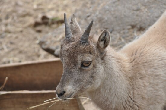 životinja, koza, rog, portret, profil, zoološki vrt, zoologija, krzno, divlje, biljni i životinjski svijet