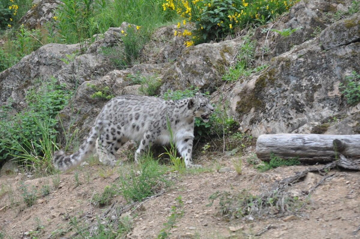 leopard, Safari, mačji, mačka, priroda, divlje, gepard, biljni i životinjski svijet, grabežljivac, na otvorenom