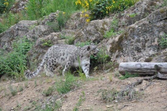leopard, safari, feline, cat, nature, wild, cheetah, wildlife, predator, outdoors