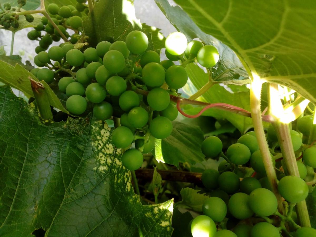 zemědělství, ovoce, modřenec, vinná réva, vinice, listy, oříznout, detaily, zelená, zelený list