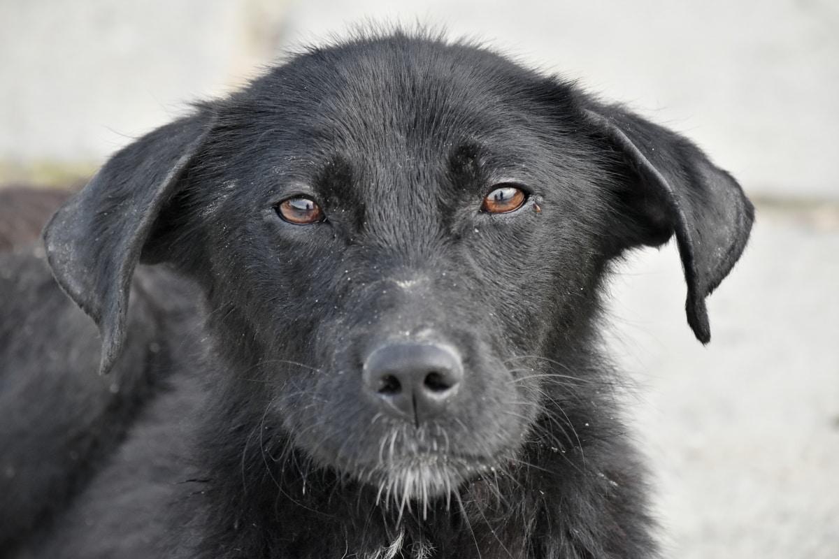 чарівні, тварини, чорний, собака, Голова, племінні, портрет, щеня, око, Хутро