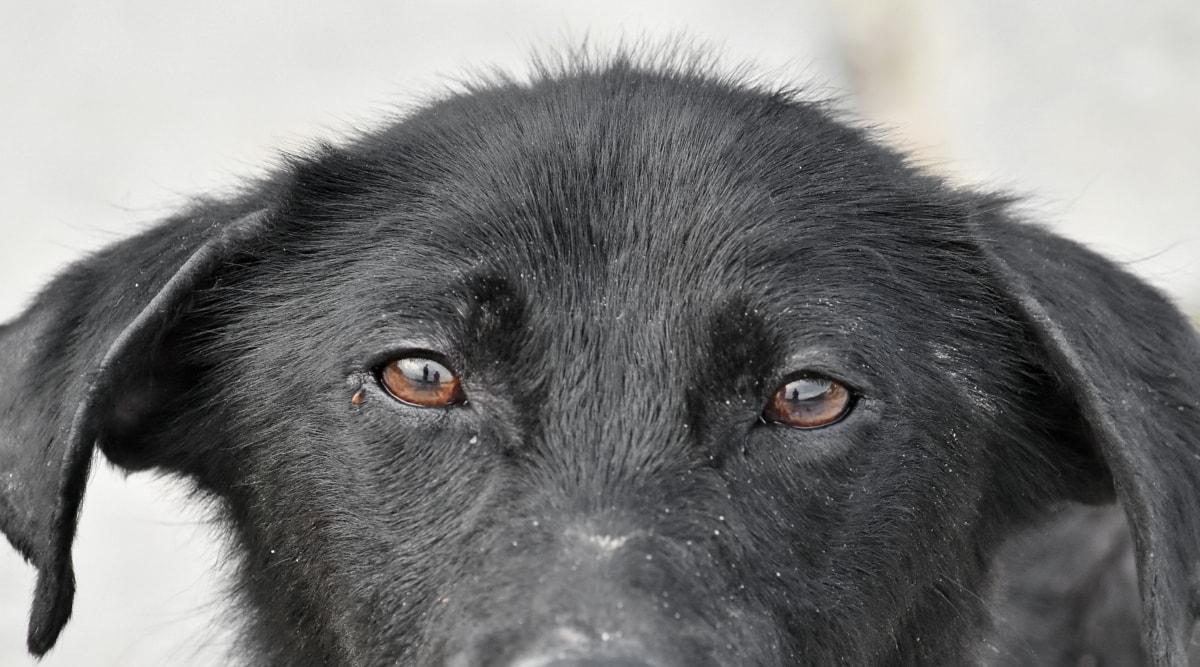oči, štene, portret, pas, pas, oko, krzno, crno-bijeli, životinja, kosa