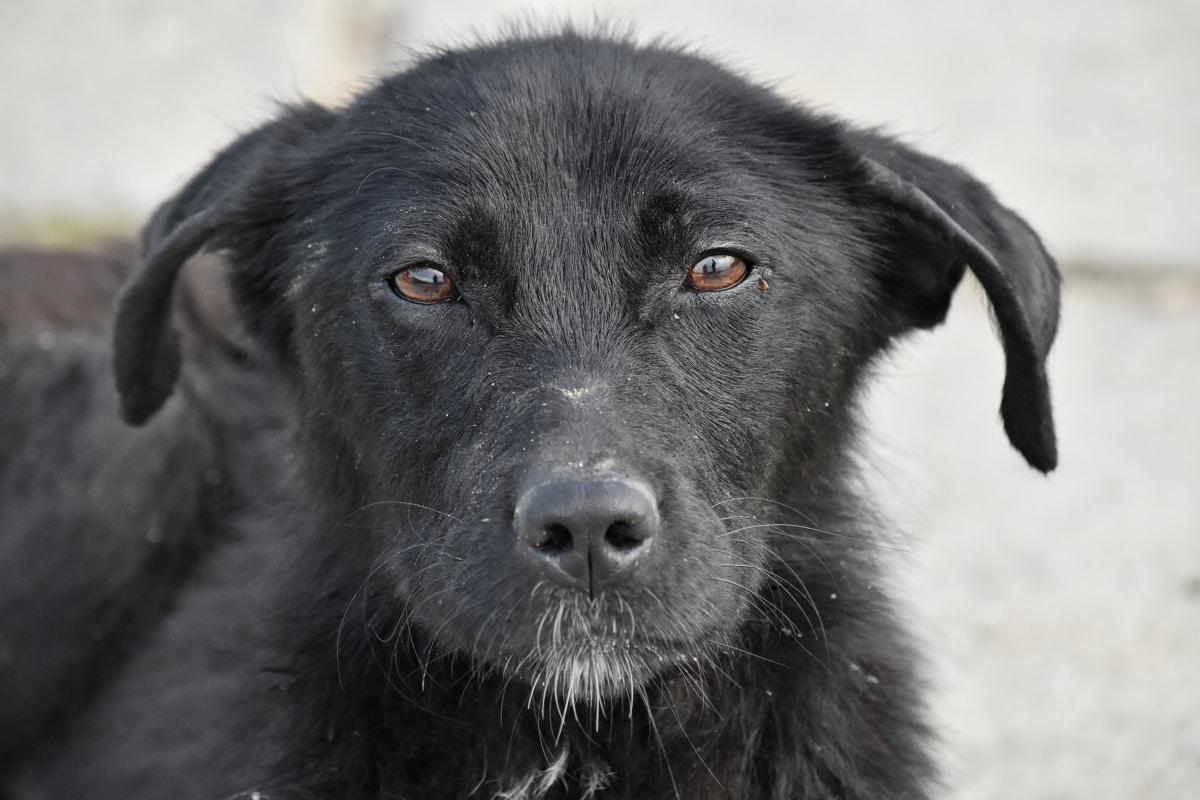 curioso, perro, buscando, vertical, canino, lindo, Pastor, mascota, ojo, Piel