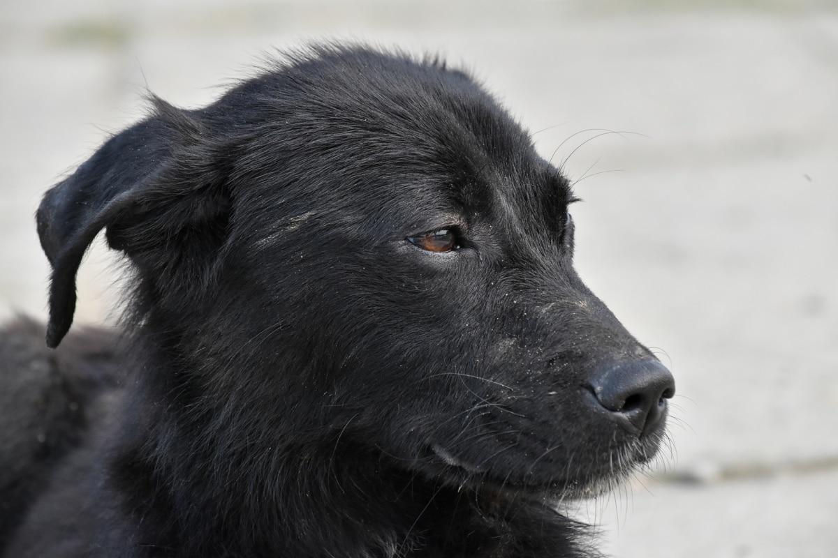 ブラック, 犬, 縦方向, 子犬, 横から見た図, 犬, ・ シェパード ・ ドッグ, 動物, かわいい, 目
