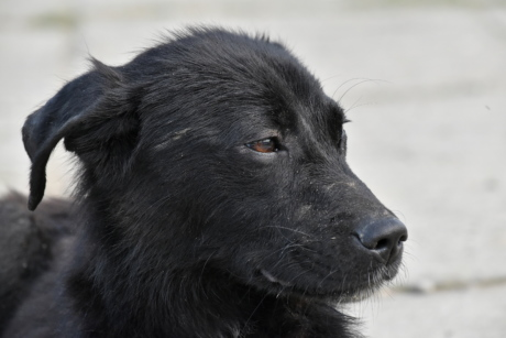 black, dog, portrait, puppy, side view, canine, shepherd dog, animal, cute, eye