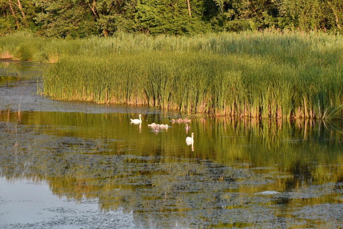 rodina vtákov, močiar, labuť, jazero, Príroda, pozemok, mokraď, voda, reflexie, príroda