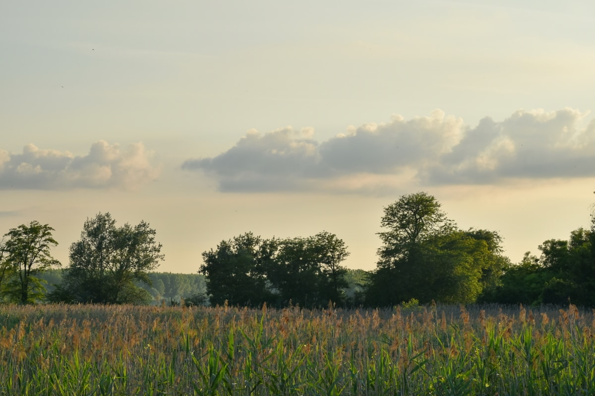 močvarno, močvara, polje, trava, livada, krajolik, ruralni, priroda, zalazak sunca, ljeto