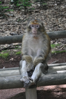 animal, clôture, Macaque, singe, Zoo, animaux, faune, Fourrure, mammifère, primate