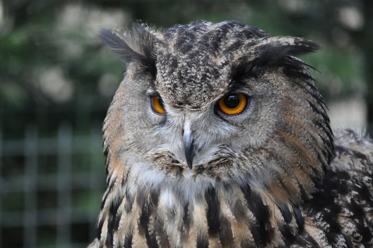 espécies em perigo, endêmicas, olho, pena, cabeça, Coruja, predador, pássaro, vida selvagem, natureza