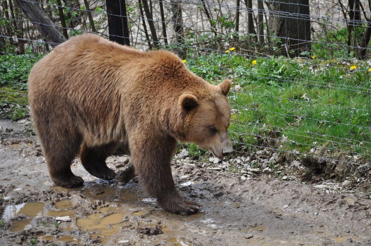gấu nâu, hàng rào, hoa râm, bùn, sở thú, động vật hoang dã, Thiên nhiên, hoang dã, Lông thú, ngoài trời