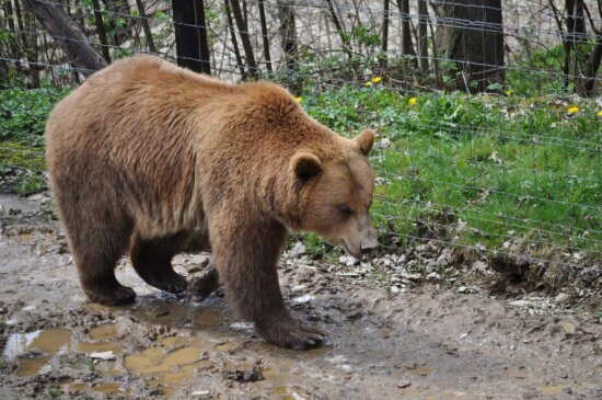 brown bear, fence, grizzly, mud, zoo, wildlife, nature, wild, fur, outdoors
