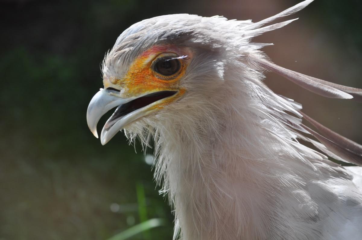 nokka, yksityiskohta, kotka, uhanalaisten lajien, silmä, sulka, villieläimet, lintu, raptor, eläinten