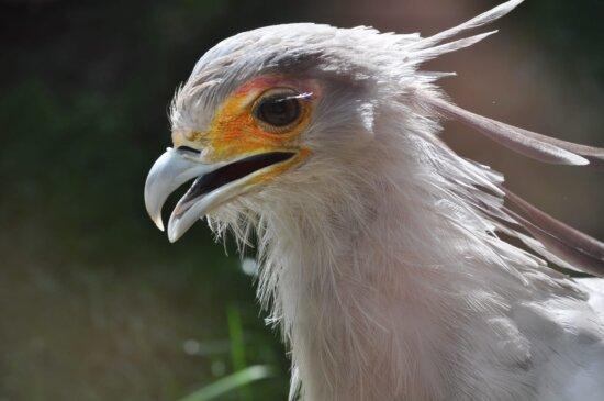 cioc, detaliu, vultur, specii pe cale de dispariţie, ochi, pene, faunei sălbatice, pasăre, păsări răpitoare, animale