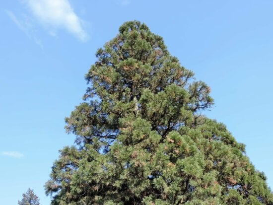 conifers, high, pine, top, trees, plant, tree, nature, summer, outdoors
