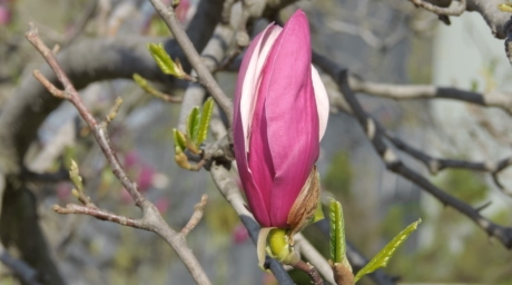magnolia, tree, plant, flower, spring, nature, petal, flowers, outdoors, branch
