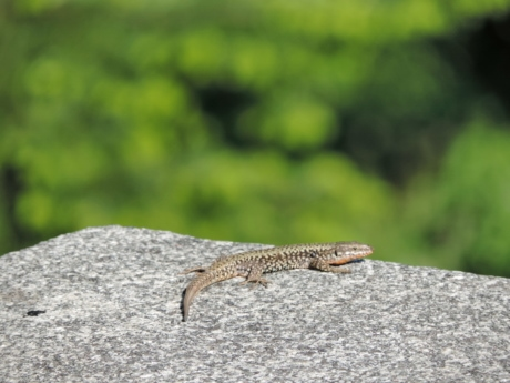 granite, stone, nature, lizard, wildlife, reptile, outdoors, wild, summer, animal