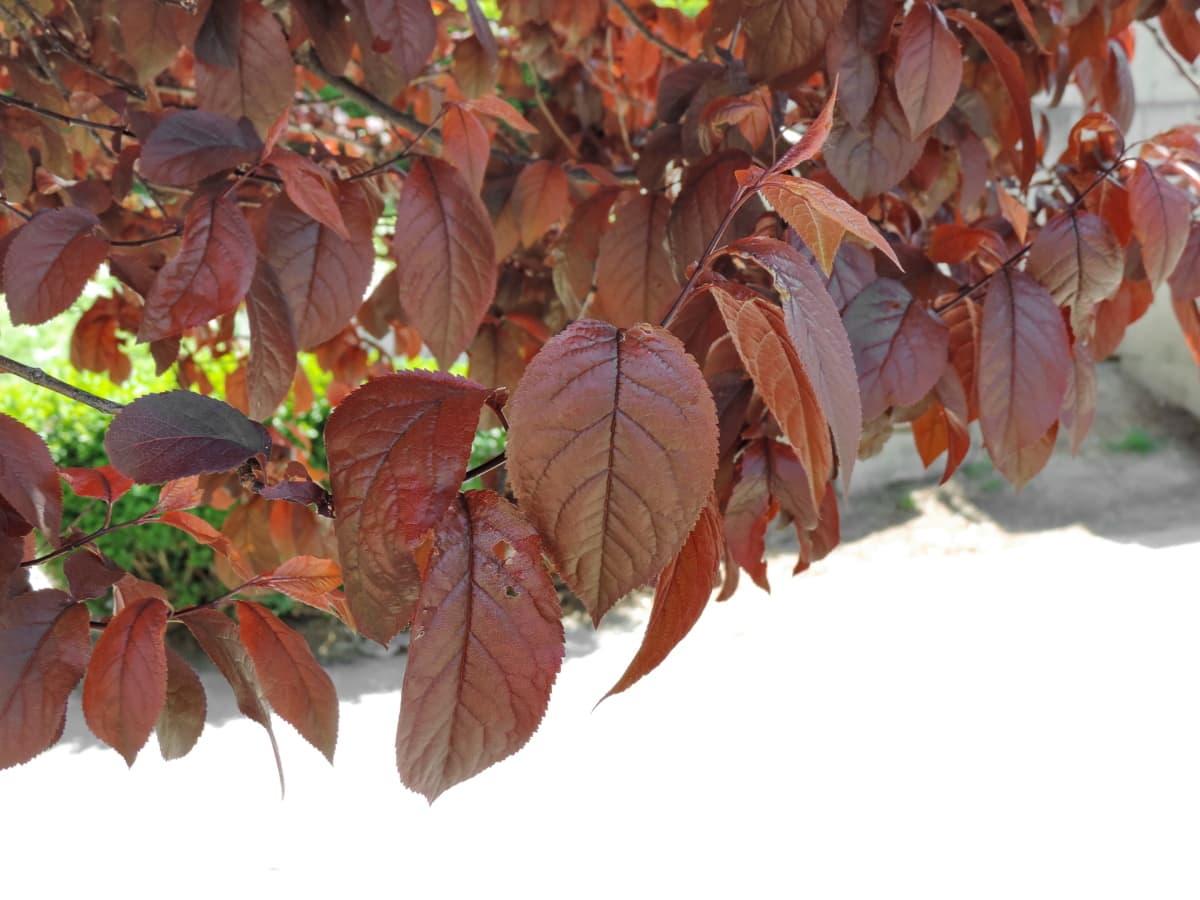 pianta, albero, foglia, ramo, arbusto, natura, acero, foglie, stagione, Flora