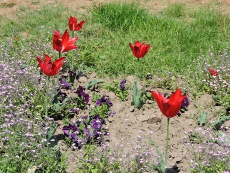 tulips, spring, plant, field, nature, summer, flower, garden, flora, blooming