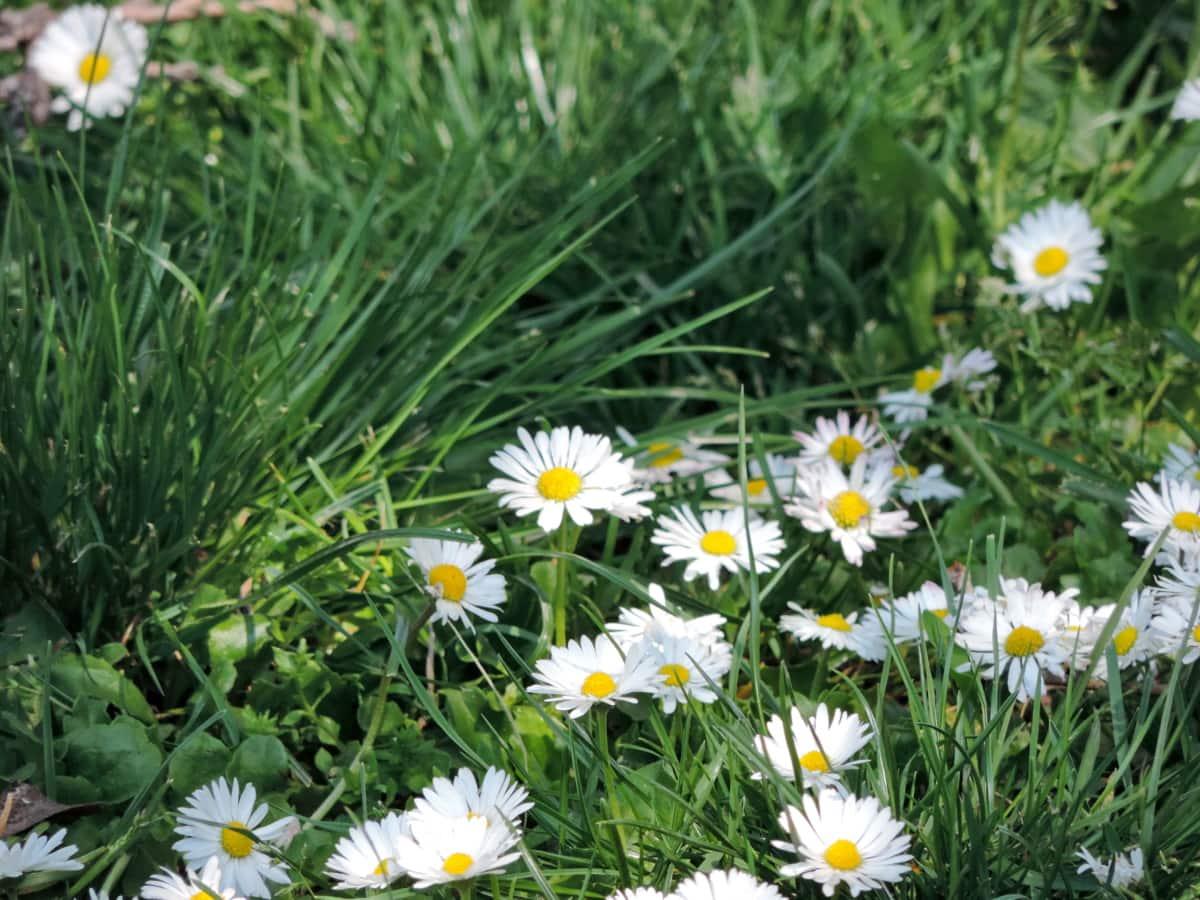 маргаритка, трава, Лето, поле сена, цветок, Природа, Флора, Ромашка, поле, Ярмарка Погода