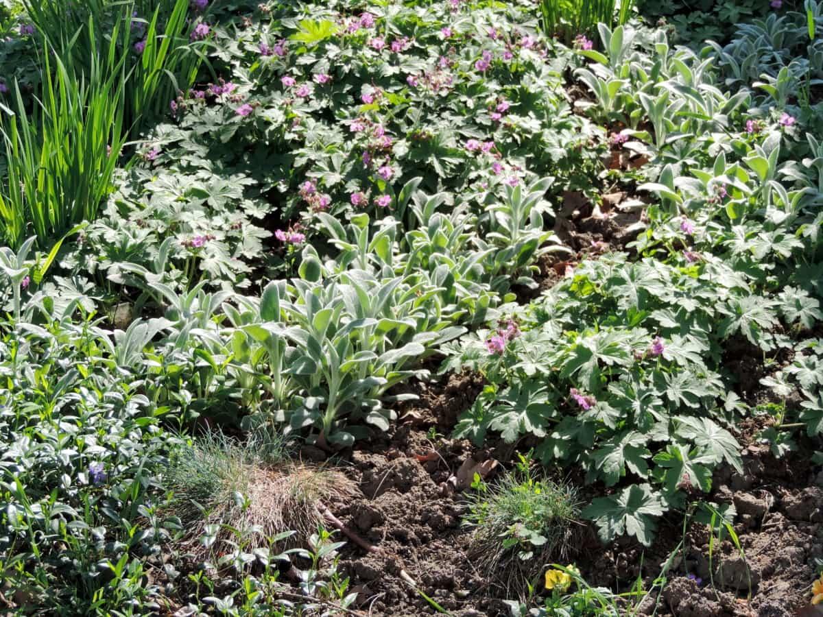 pestovanie, Záhrada, záhradníctvo, záhradníctvo, kvet, bylina, Ker, flóra, poľnohospodárstvo, krídlo