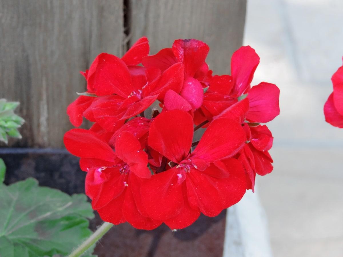 bloemblad, Geranium, bloem, zomer, kruid, plant, natuur, helder, blad, tuin