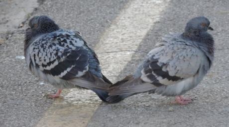 asfalt, ptice, beton, par, golub, ptica, životinja, pero, kljun, biljni i životinjski svijet