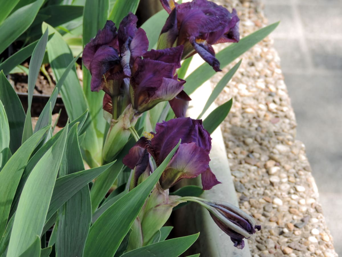 flowerpot, iris, purple, urban area, nature, plant, flower, leaf, outdoors, summer