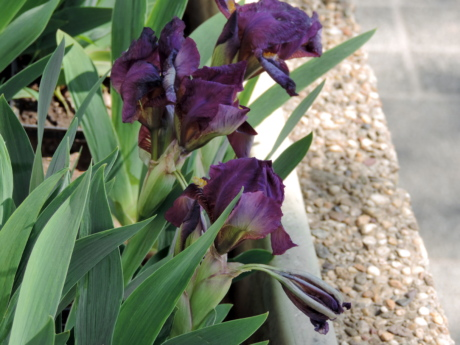 flowerpot, iris, purple, urban area, nature, plant, flower, leaf, outdoors, summer