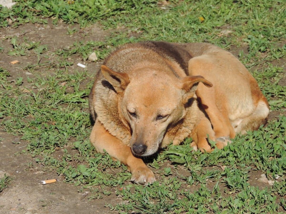 犬, 緑の草, 明るい茶色, 犬, 動物, かわいい, 草, 毛皮, 自然, 縦方向