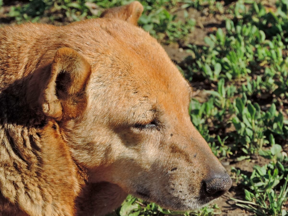 dog, side view, yellowish brown, nature, canine, fur, wildlife, animal, grass, eye