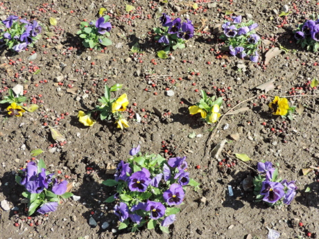 garden, ground, park, petunia, flowers, soil, viola, flower, plant, herb