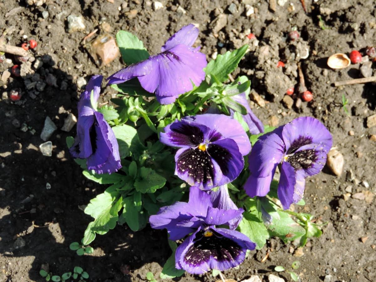 kvetinová záhrada, kvety, Petunia, lupienok, bylina, príroda, Viola, kvet, Záhrada, kvet