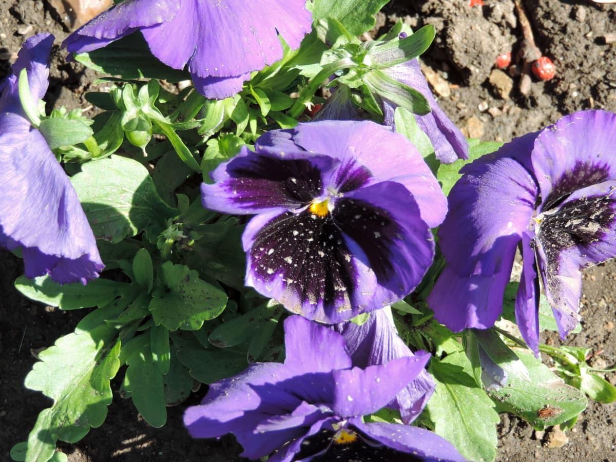 púrpura, Petunia, Jardín, flores, planta, flor, naturaleza, hierba, viola, hoja