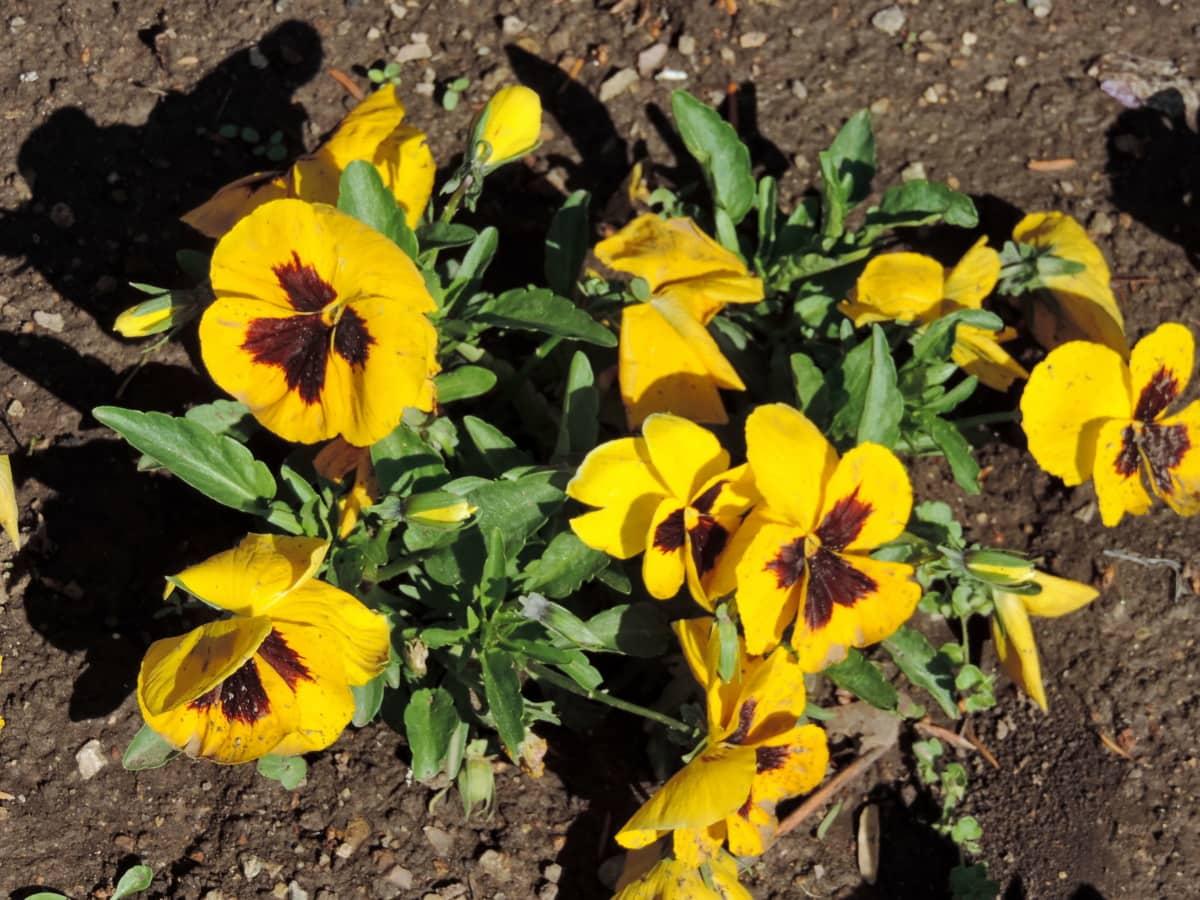 Kostenlose Bild Kraut gelb Blatt Flora Natur Blume