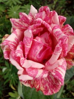 красочные, цветочный сад, Садоводство, Садоводство, лепестки, розоватый, Весна, Лепесток, Роза, розовый