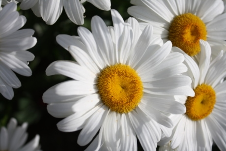 margarita, white flower, nature, daisy, flower, spring, blossom, flora, petal, summer