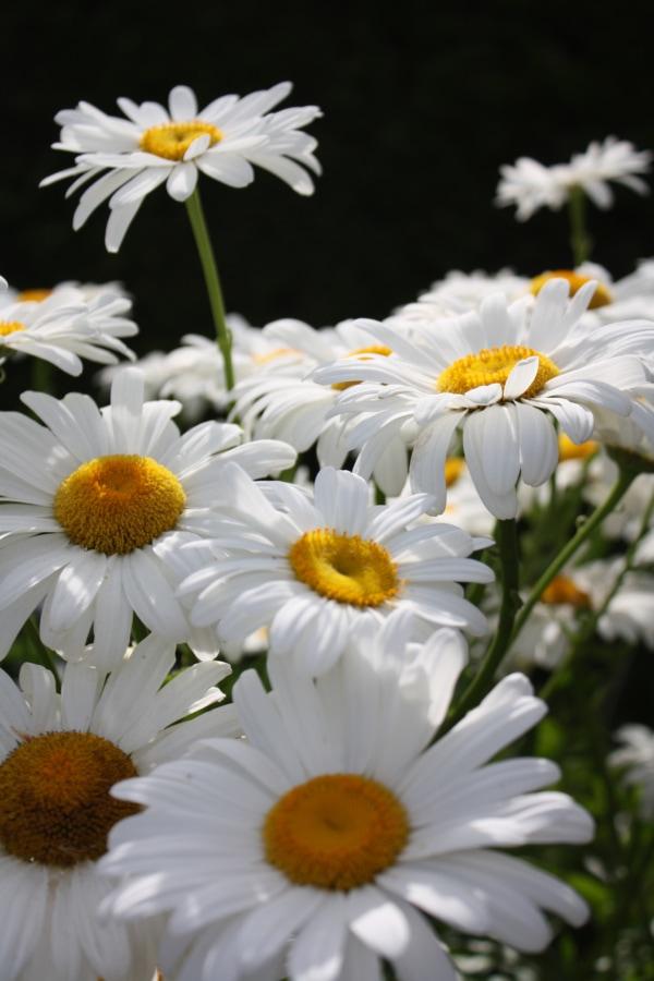 flower garden, margarita, meadow, plant, flora, nature, blossom, summer, flower, garden